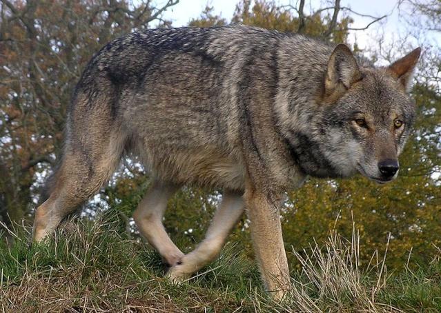WOLVES: Subspecies 6a00d810