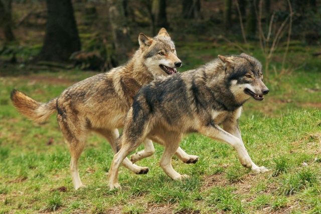WOLVES: Subspecies Eek7bo11