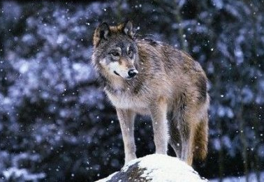 A Guide to Wolf Subspecies Srmwol10