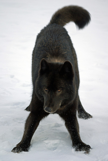 WOLVES: Subspecies Tumblr10