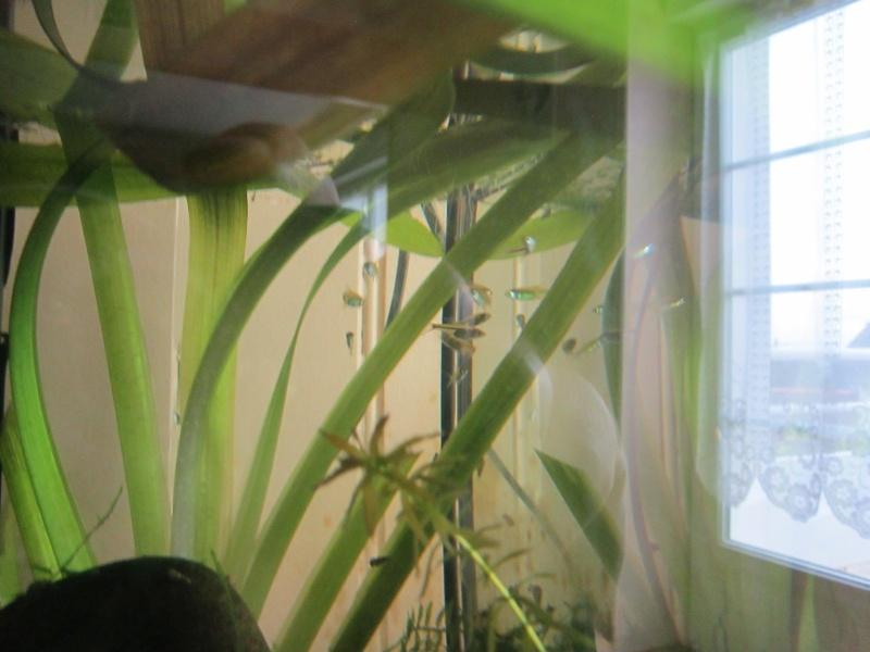 Couple de Trichogaster chuna Img_0413