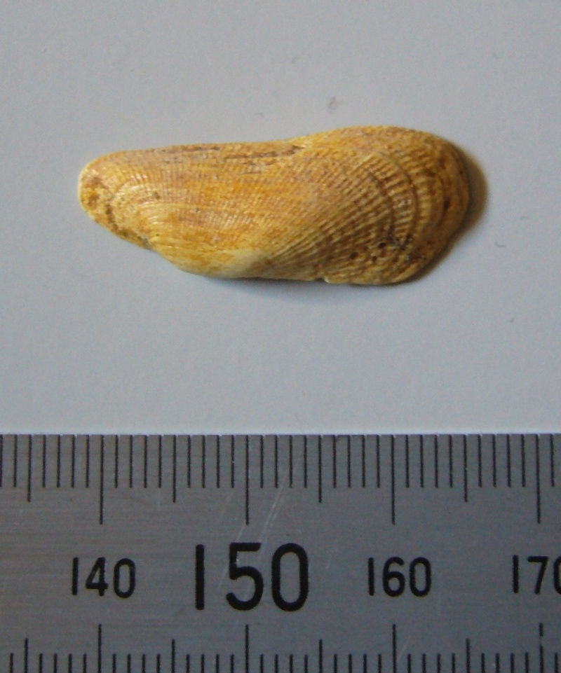 [résolu]Barbatia (s.str.) rigaultiana (Arca) Deshayes, 1858 P1090213