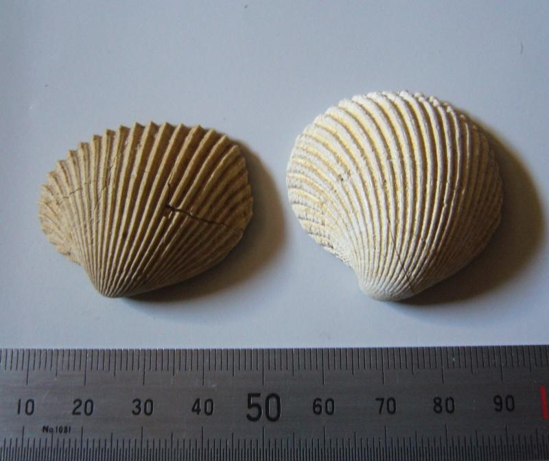 [résolu]Venericardia acuticosta Lam.1806, Ven. complanata Desh P1090315