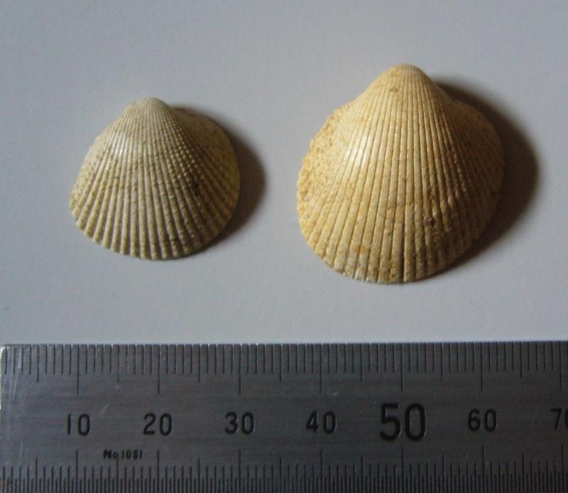 [résolu]Loxocardium bouei Desh.1858,Plagiocardium granulosum L. 1805 P1090510