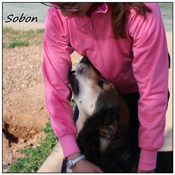 SOBON - x 7 ans -  (5 ans de refuge)   Une Histoire de Galgos -  Castilla la Mancha (Espagne)  Sobon310