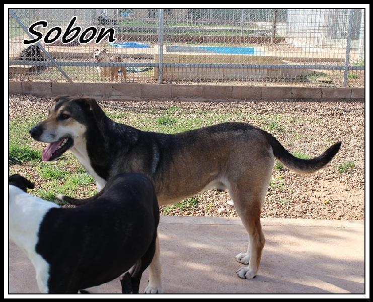 SOBON - x 7 ans -  (5 ans de refuge)   Une Histoire de Galgos -  Castilla la Mancha (Espagne)  Sobon610