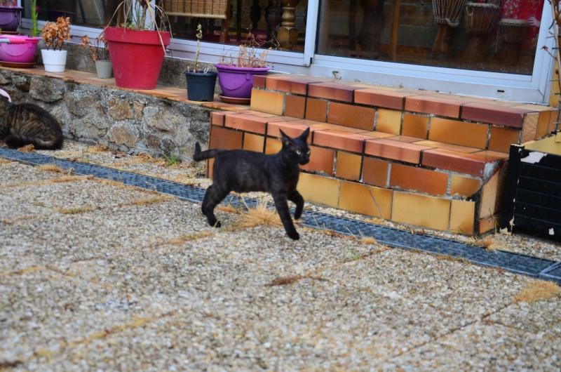 Jayane, femelle type européen noire, née le 07/12/2014, frais d'adoption libres Dsc_4613