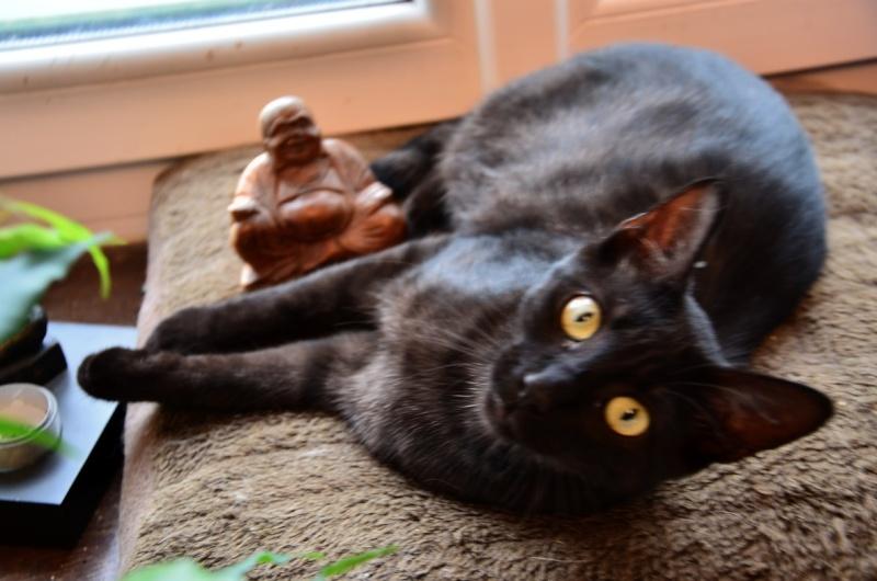 Jayane, femelle type européen noire, née le 07/12/2014, frais d'adoption libres Dsc_5116