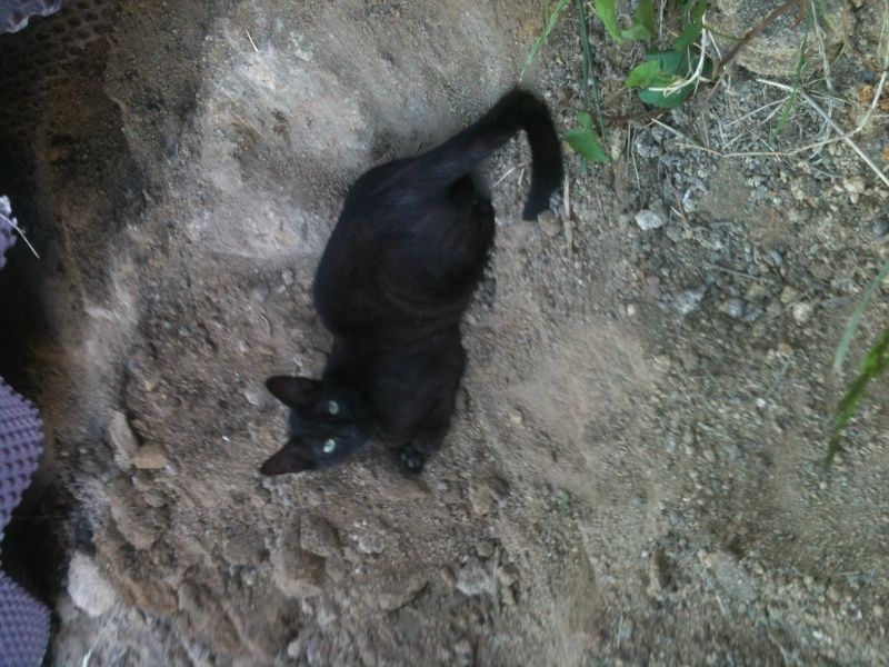 Jayane, femelle type européen noire, née le 07/12/2014, frais d'adoption libres Image15