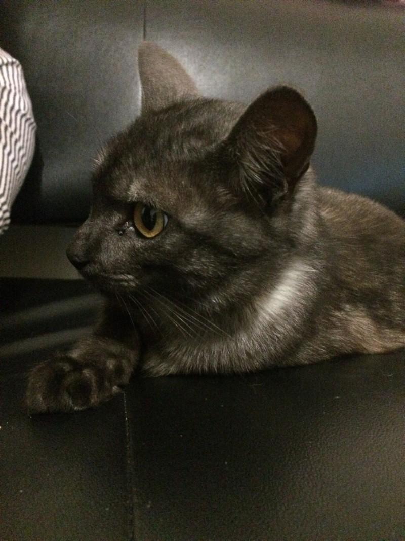 LIXOU, jeune chat européen, robe smoke, né en janvier 2015 Lixou10