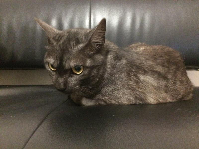 LIXOU, jeune chat européen, robe smoke, né en janvier 2015 Lixou_10