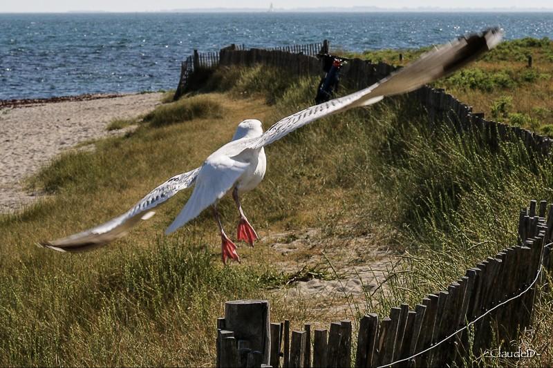 Animaux, oiseaux... etc. tout simplement ! - Page 23 Goelan10