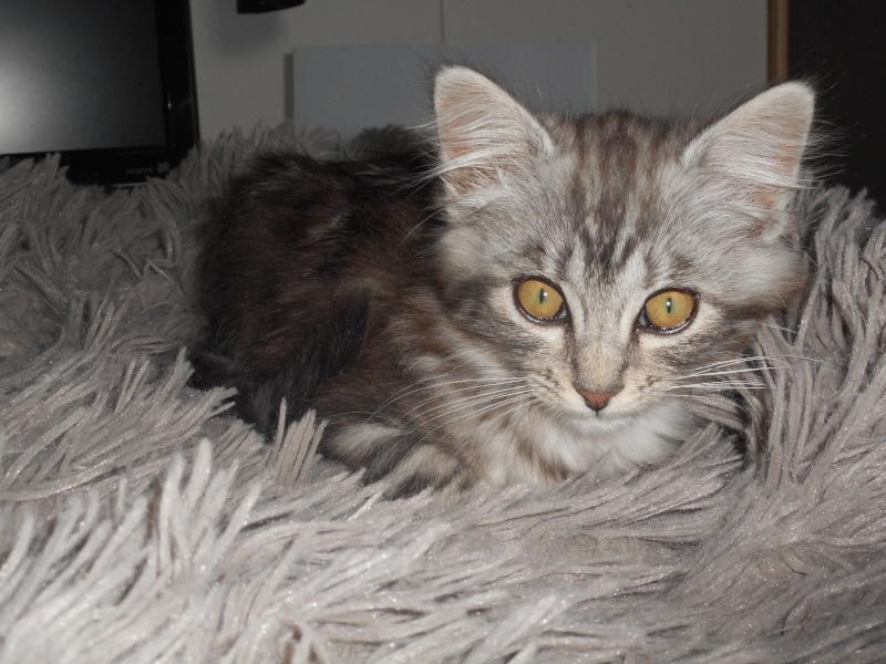 louna - LOUNA, chatonne tigrée claire, née le 01/06/2015 Dscn0410
