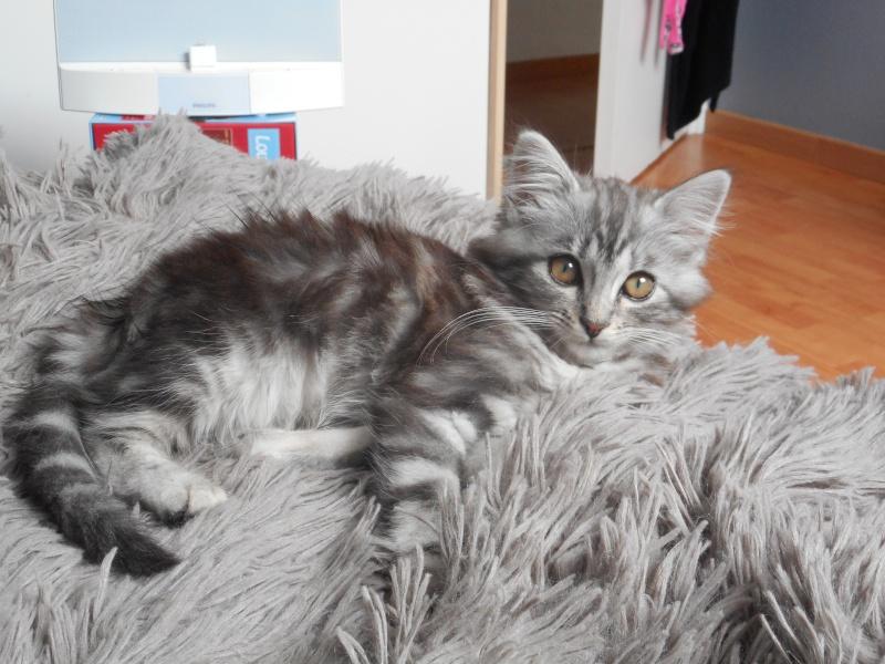 louna - LOUNA, chatonne tigrée claire, née le 01/06/2015 Dscn0411
