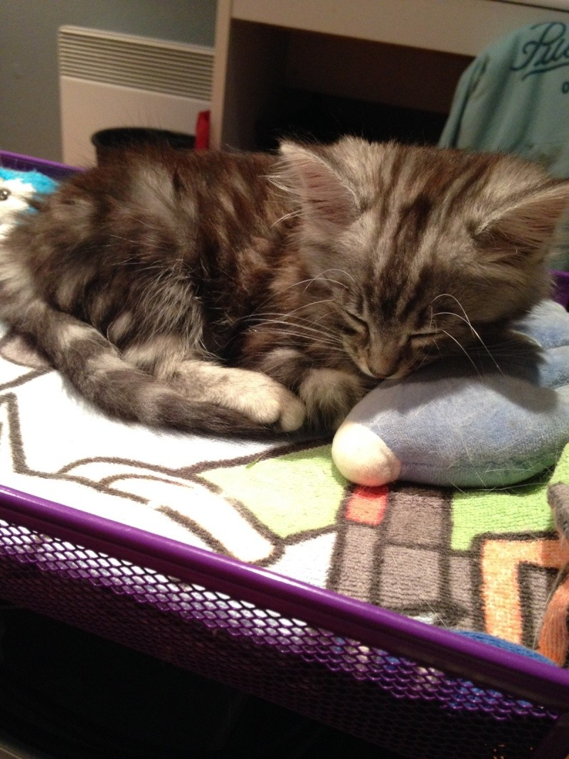 louna - LOUNA, chatonne tigrée claire, née le 01/06/2015 V_e4c110