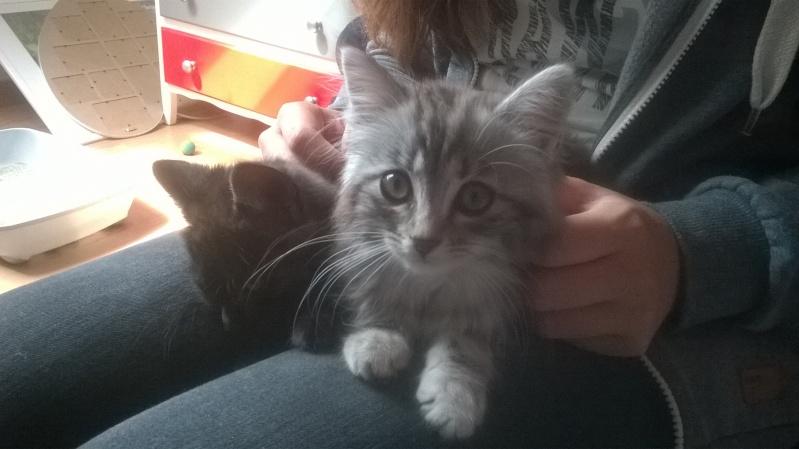 louna - LOUNA, chatonne tigrée claire, née le 01/06/2015 Wp_20110