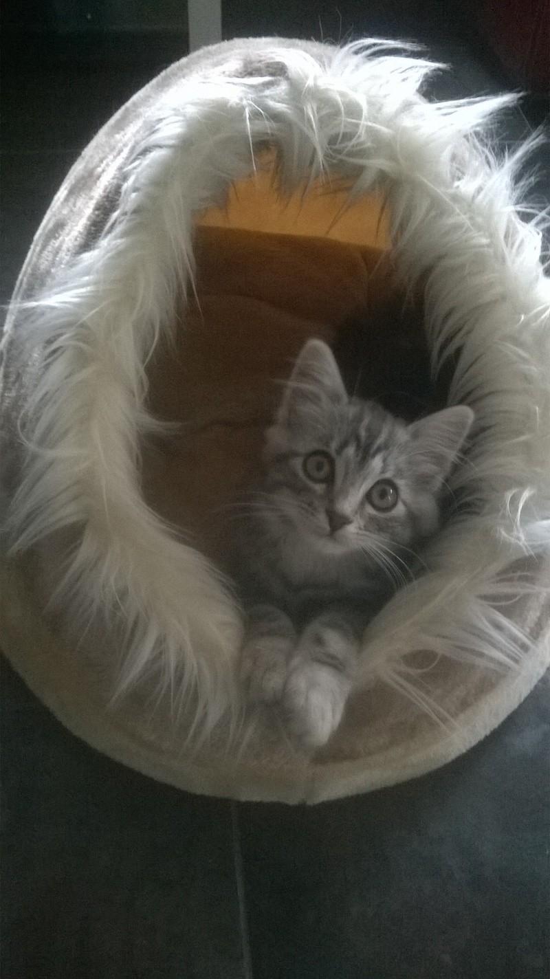 louna - LOUNA, chatonne tigrée claire, née le 01/06/2015 Wp_20113