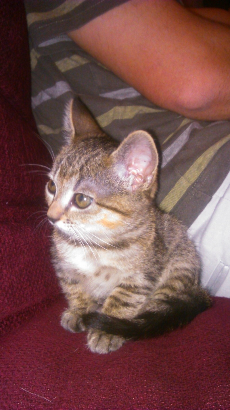 Lilly, femelle type européen tabby née le 25/04/2015 - Page 3 Dsc_0716