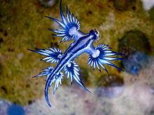 Glaucus atlanticus. Blue_d10