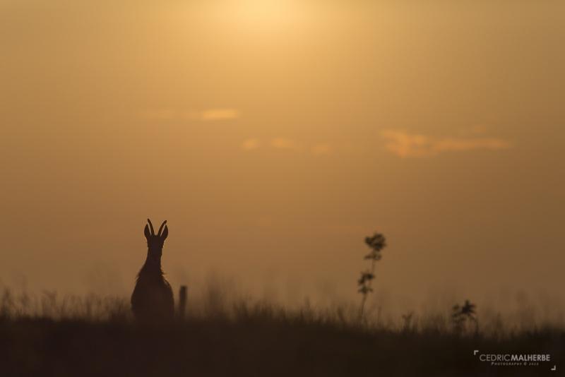 Chamois au coucher de soleil Gd6a2310