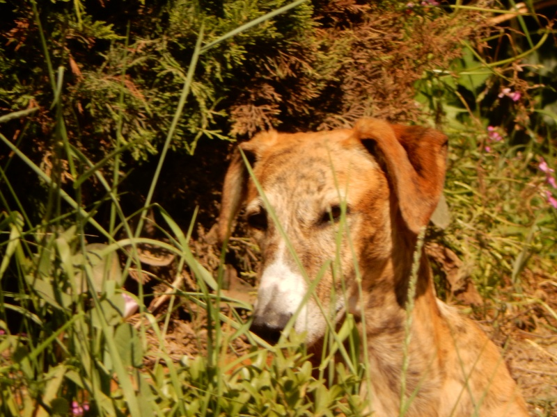 April – un amour de galga bringée/rousse Scooby France – Adoptée ! - Page 6 Dscn0212