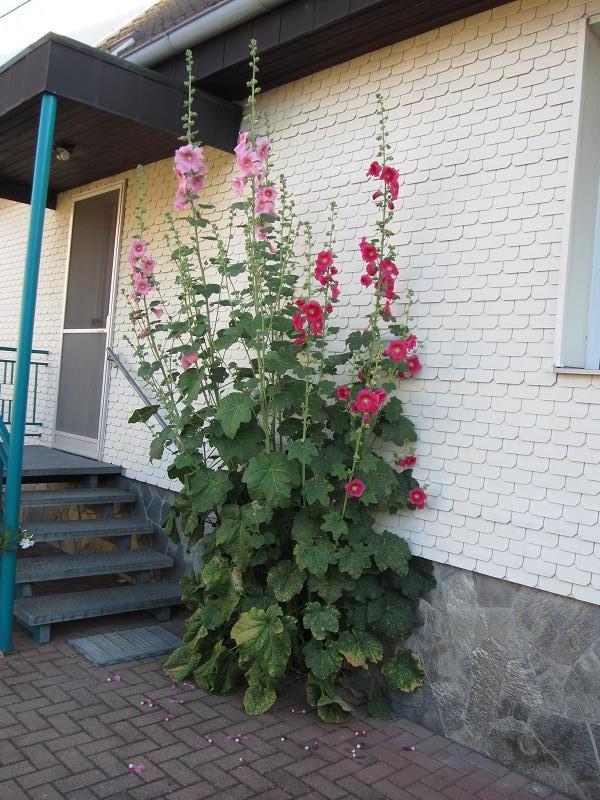 Malvengewächse - ohne Hibiscus Img_1413