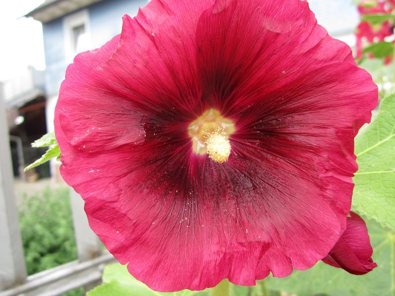Malvengewächse - ohne Hibiscus Img_1418