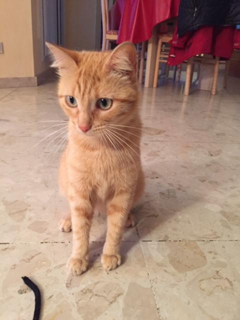 Trouvée chatte rousse dans le secteur du Cabirol Img_0810