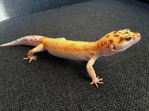 Gecko Léopard de Mauvous 210