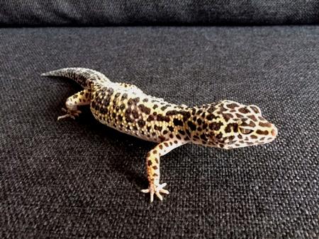 Gecko Léopard de Mauvous 21800910