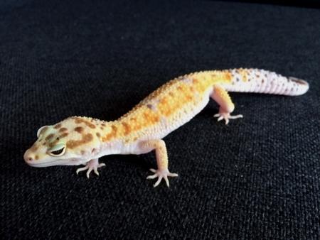Gecko Léopard de Mauvous 71973010