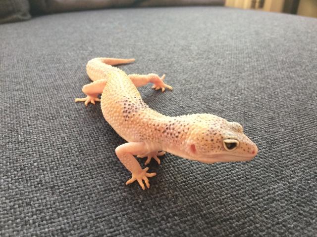 Gecko Léopard de Mauvous Img_0510