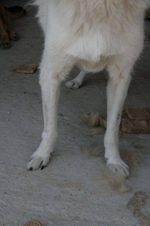 MIKI, mâle taille moyenne, blessé, né 2012 - (ANDA) Mikipa11