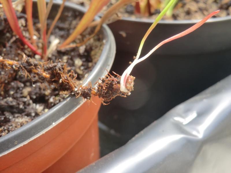 Sarracenia poussant sur une racine !! Cimg1437