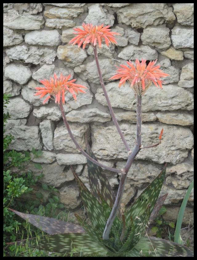 Aloe - identifications [verrouillé] - Page 5 Aloys_10