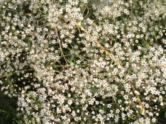 butinages du jour à l'ombre de nos plantes  Dsc03916