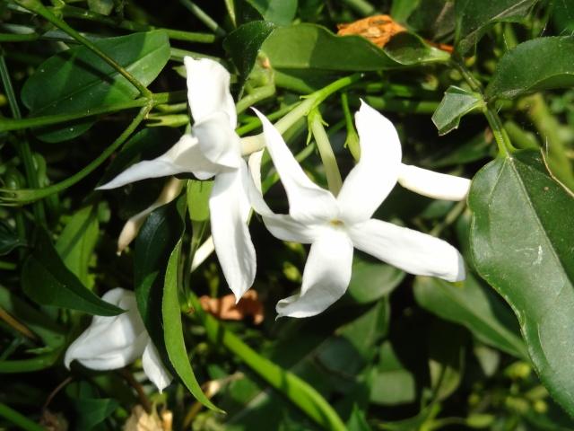 butinages du jour à l'ombre de nos plantes  Dsc03917