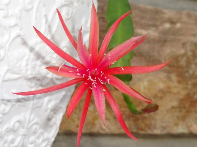 Epiphyllum 'Jalisco Disco' Dsc04014