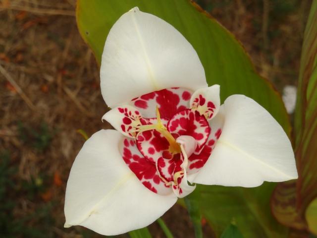 Tigridia pavonia Dsc04310