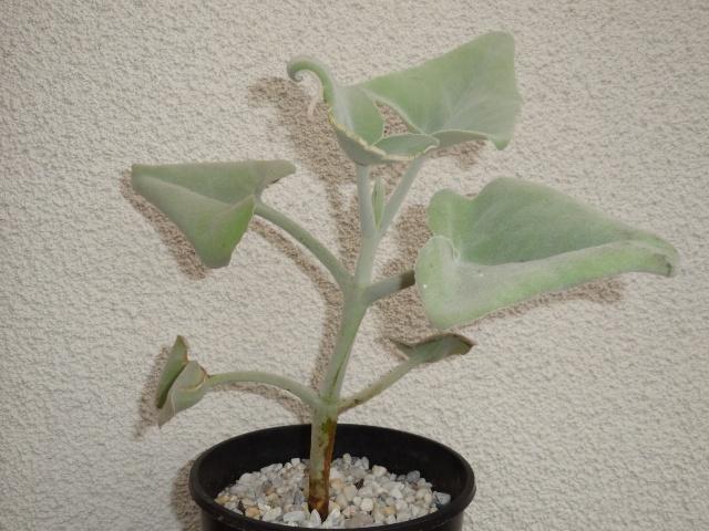 Kalanchoe beharensis Dsc04322