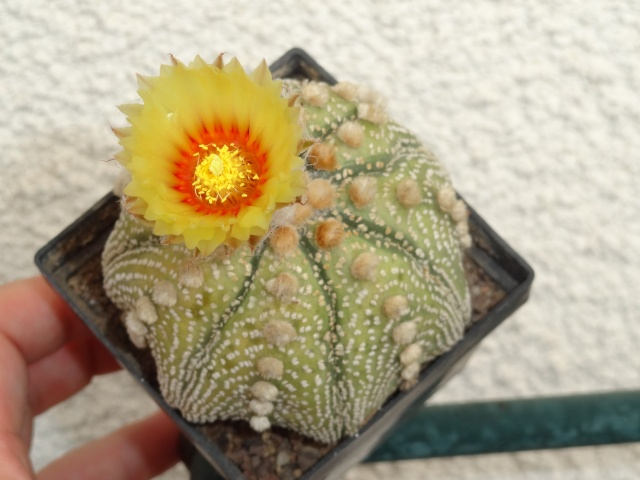 Astrophytum asterias 'Super Kabuto' Dsc04411
