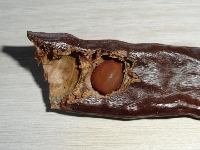 ceratonia siliqua - Ceratonia siliqua - caroube (graines) Dsc04415