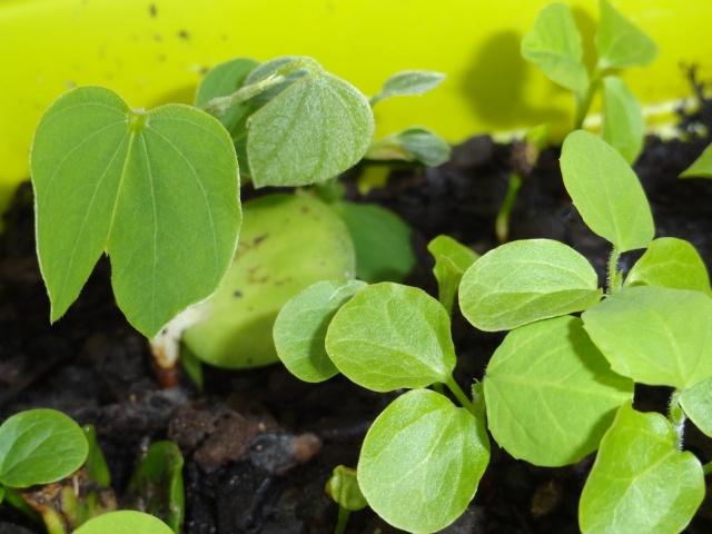 semis Passiflora morifolia et Bauhinia Dsc04513