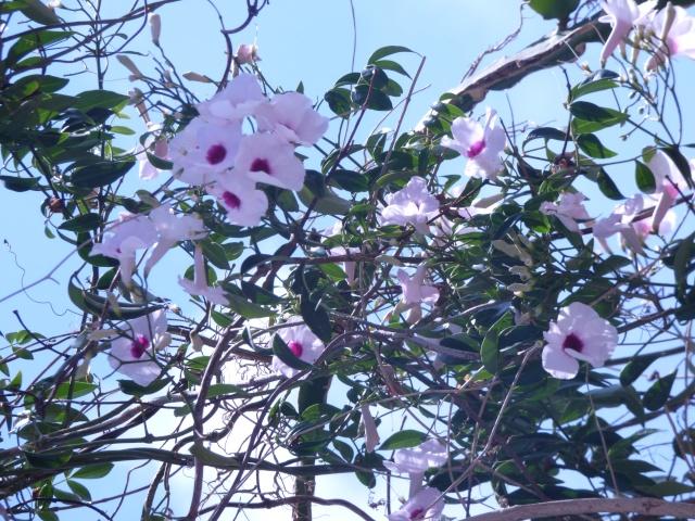 Pandorea jasminoides et Pandorea pandorana P1010818