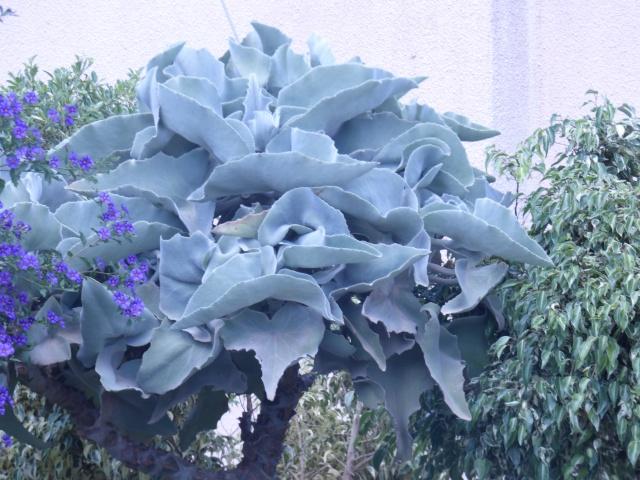 Kalanchoe beharensis P1010820