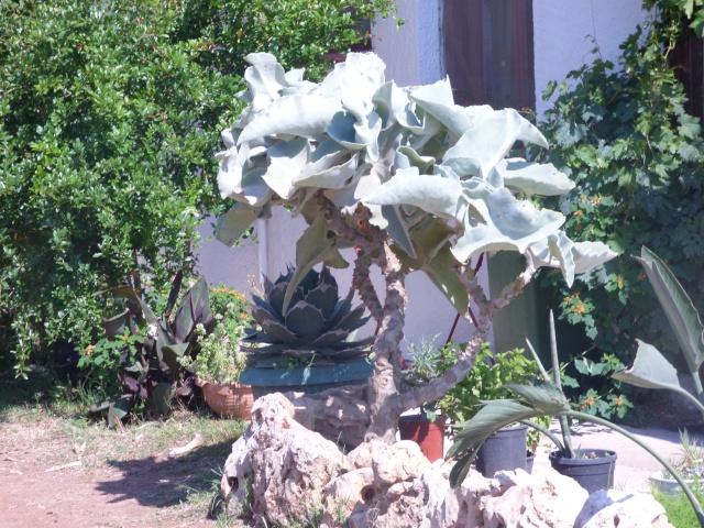 Kalanchoe beharensis P1010916