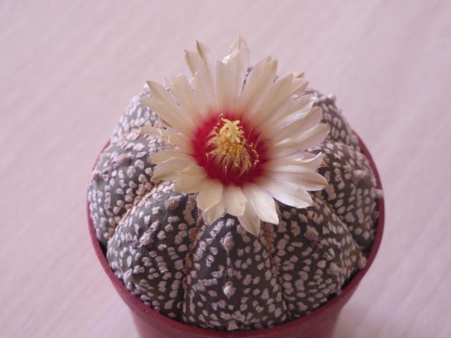 Astrophytum asterias 'Super Kabuto' P1020118