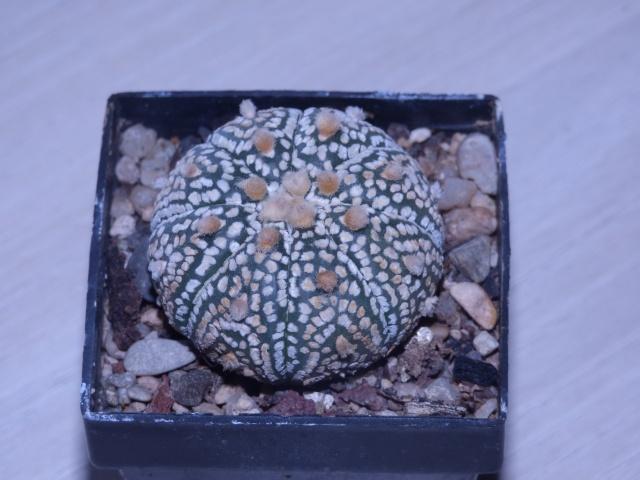 Astrophytum asterias 'Super Kabuto' P1020119
