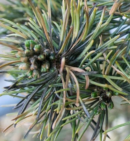 Blackens needles on Japanese white pine Img_2011