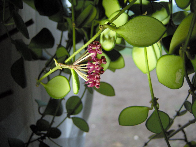 Hoya carmelae Hpim1211